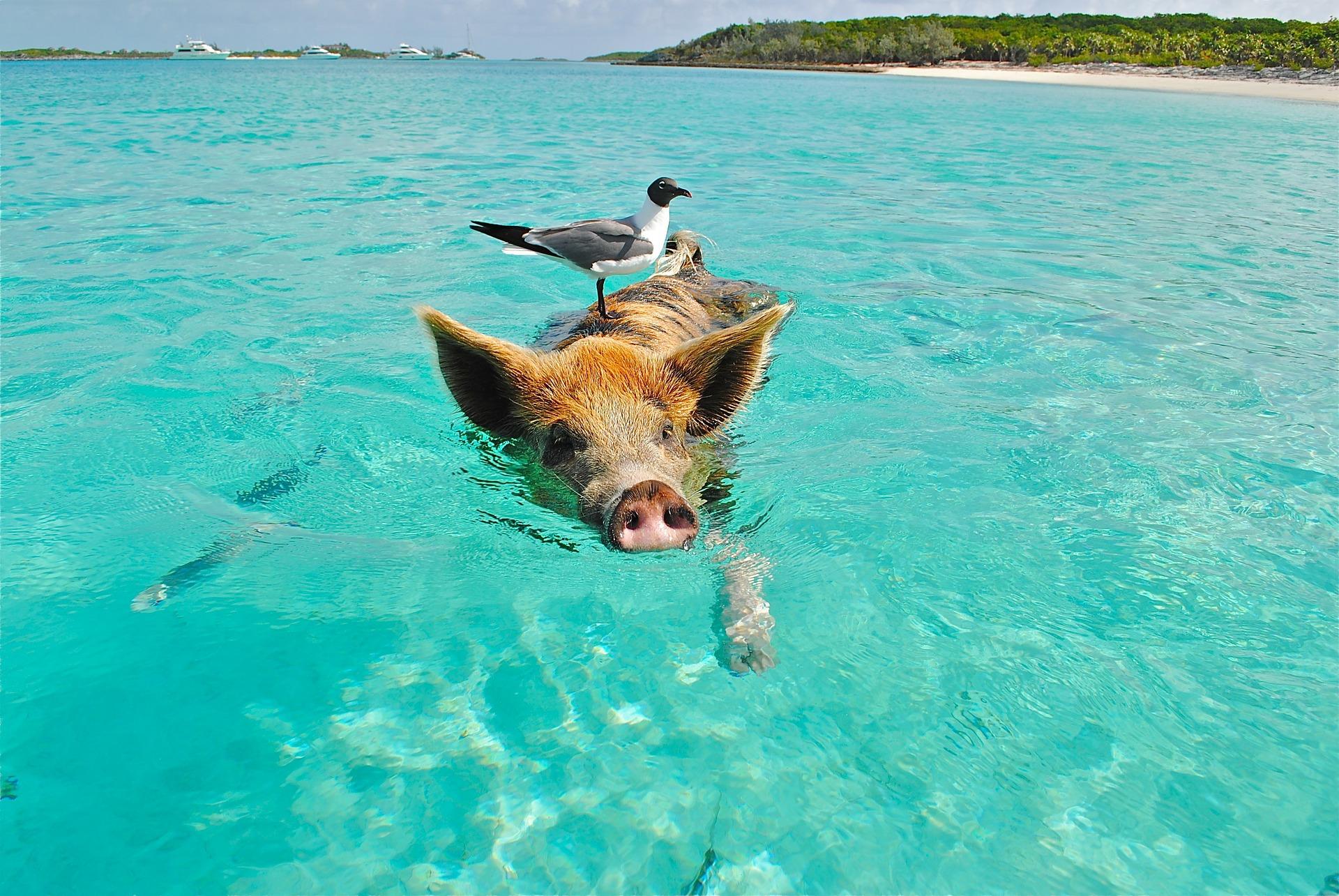 Schwimmende Schweine auf den Bahamas mit Brodos live erleben.